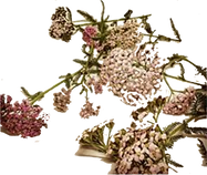 Yarrow Cropped Small cut2.png