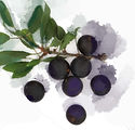Sloes small colour.jpg