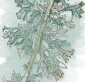 Lichen Coloured.jpg