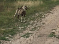 rambouillet sheep at Thompson hunting lodge in south Texas