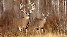 whitetail deer at Thompson hunting lodge, hog hunting, deer hunting, in south Texas