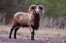 corsican sheep, at Thompson hunting lodge, in south Texas