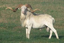 Texas dall sheep at thompson hunting lodge in south Texas