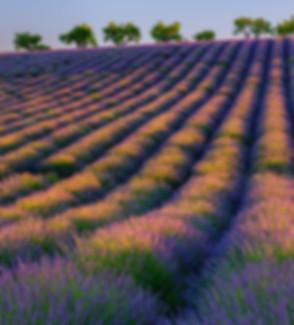 lavender left.jpg