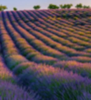 lavender right.jpg