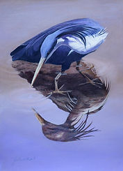 pm Reflections. Pied Heron.jpg