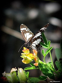 Jason Hayward butterfly.jpg