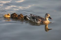 duck-207344_1920