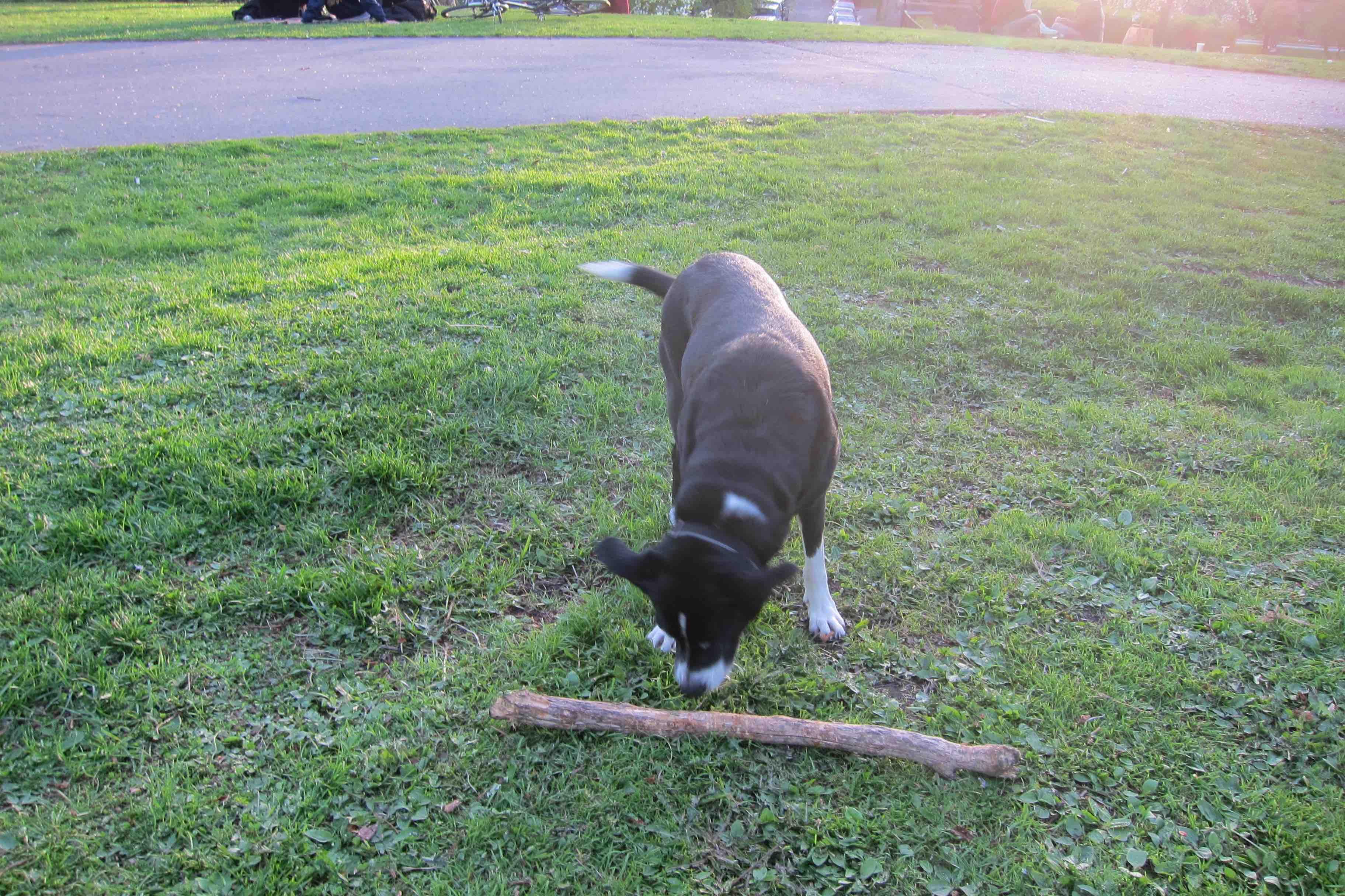 Hund og pinne