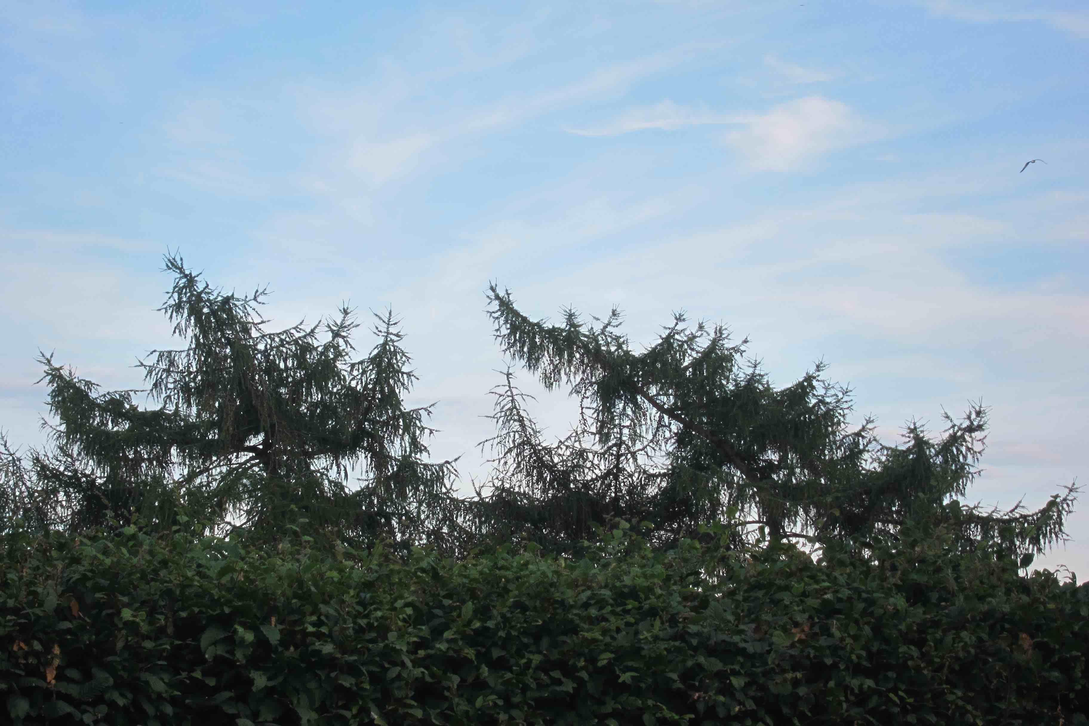Lerketrær på rømmen