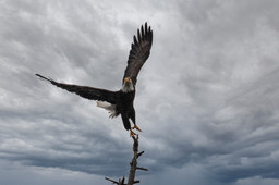 Eagle Takeoff.jpg