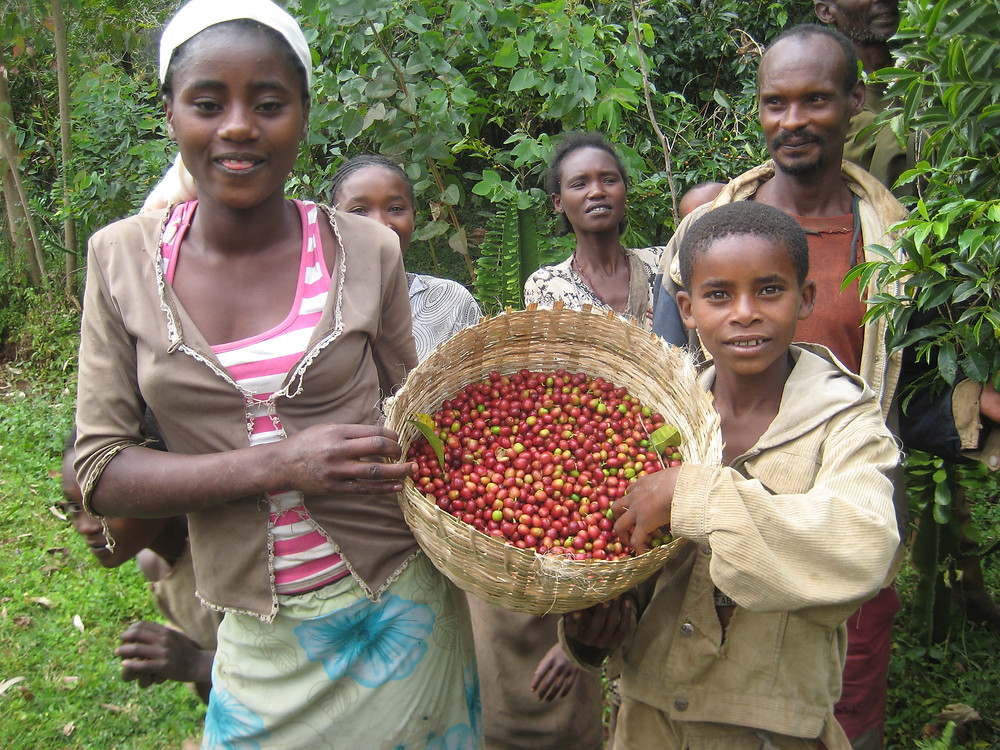 Coffee harvest is a family affair in the Sidamo region of Ethiopia