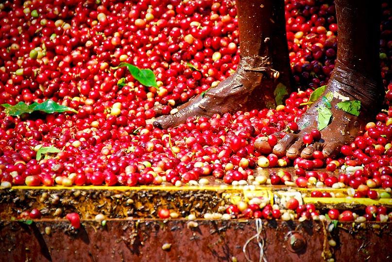 Coffee processing in Thalanar region