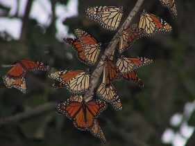 What is monarch migration habitat? A simple question with a surprisingly ellusive answer...