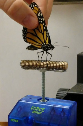 New study shows captive-reared monarchs are wimps and have poorly-suited wings for migration!