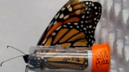A new study evaluates learning and memory in wild and captive raised monarchs!