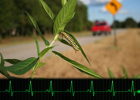Do monarch larvae get stressed from traffic noise? A ground-breaking new study examines heartbeats