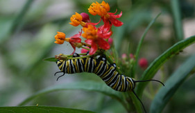 A complete summary of the previous and new science on tropical milkweed and monarchs