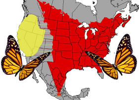 An exciting new study examining flight ability and genetics of eastern vs western monarchs