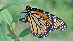 New study asks if momma monarch really knows what milkweed is best for her kids