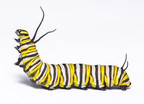 An in-depth look at the recent paper on monarch caterpillar hearing (with images)