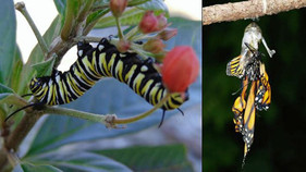 The link between OE disease and tropical milkweed in coastal monarchs: by Dara Satterfield