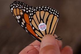 Thoughts on Gayle Steffy's new study on monarch tagging
