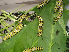 What everyone needs to know about rearing monarchs - from a science standpoint