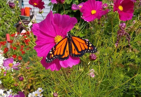 Monarchs now listed as an endangered species in Nova Scotia Canada - a prelude for things to come