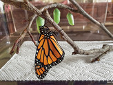 """Monarchs were just used as a case study in a review paper on """"misplaced conservation"""""""