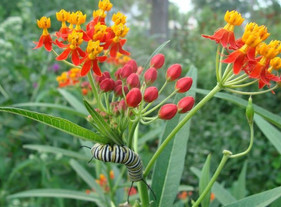 Summary and comments on the new study of tropical milkweed and climate change