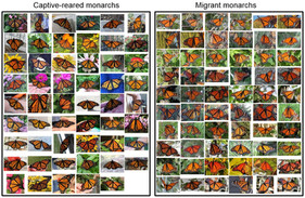 Direct evidence that captive-reared monarchs are not as good as wild ones - an UNPUBLISHED study