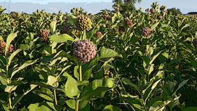 New developments in the former bombshell study on milkweeds and monarch declines from last year