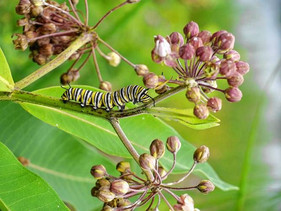 Which milkweed plant produces the best monarchs? Reviewing the evidence