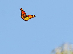 How fast does a monarch fly? A close look at the science