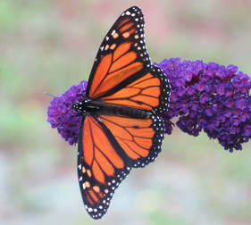 I reviewed 20 studies that measured monarch abundance over time. They don't show what you think