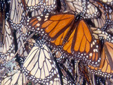 Does tourism negatively impact the monarch winter colonies in Mexico? A study attempted to find out
