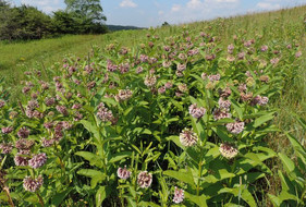 New study provides more evidence that milkweed is not the answer to the monarch decline