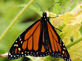New study asks if non-migratory monarchs can still become migratory - answer: maybe, but...