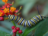 Another study published showing how rearing monarchs on tropical milkweed doesn't help them