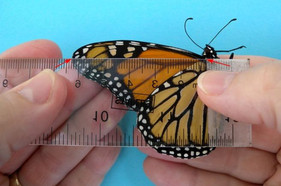 What is the optimal monarch size for successful migration?
