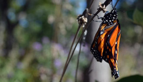 Food for thought - should heavily-infected monarch populations be enhanced?