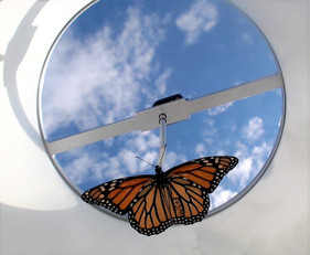 New study shows that yes, rearing monarchs inside next to a window really does mess with them