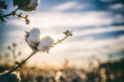 cotton-2807362_1920 (2)