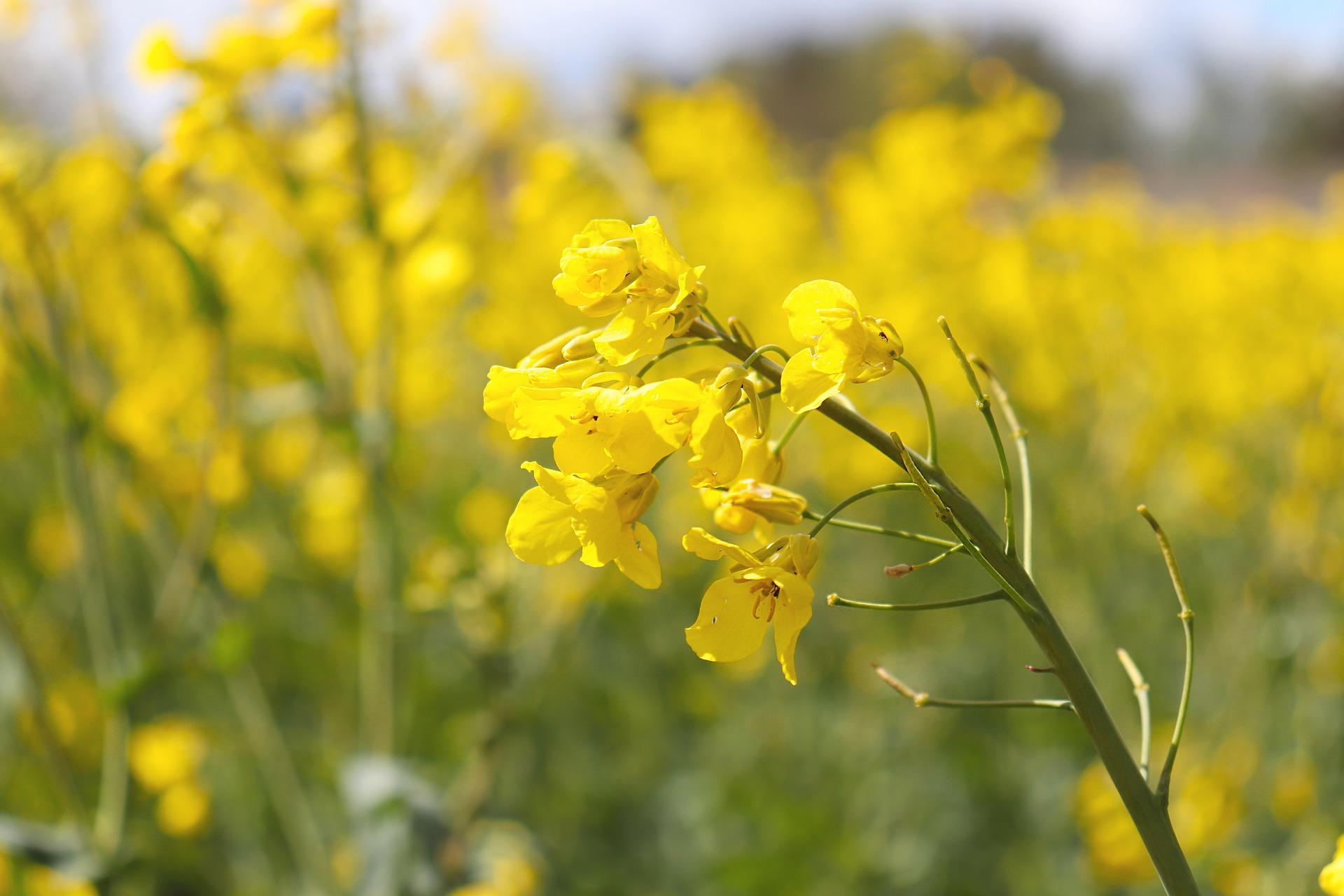 oilseed-rape-5204442_1920