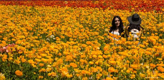 Carlsbad Flower Fields April 2018 Rununculas-10.jpg