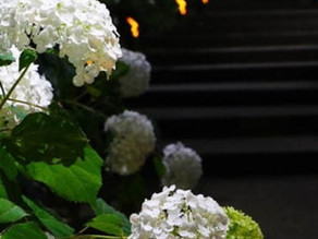 The Curious Incident of the Hydrangea in the Nighttime