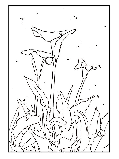 Calla Lily Coloring Page *Free*