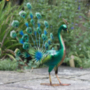 green-peacock-tail-up-2.jpg