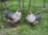 hens.png